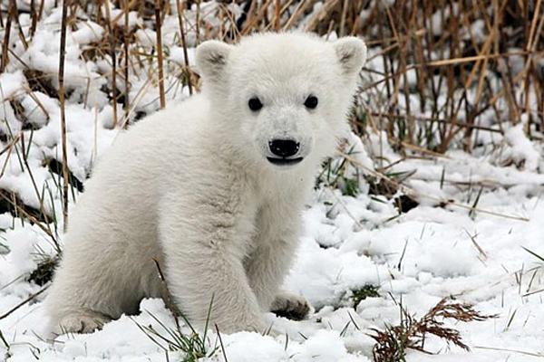 ourson-polaire